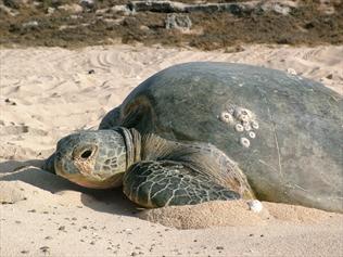 eating-plastic-turtles